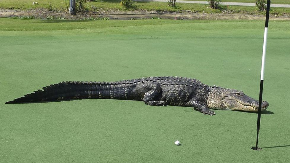 Resultado de imagen para Un enorme caimán irrumpe en un campo de golf