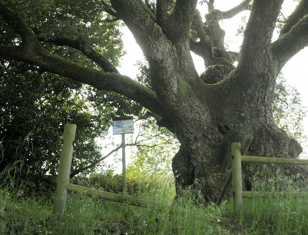 Esplendor y abandono del único árbol «senlleiro» de Silleda