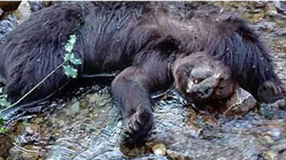 Seis osos muertos en un perímetro de 32 kilómetros cuadrados