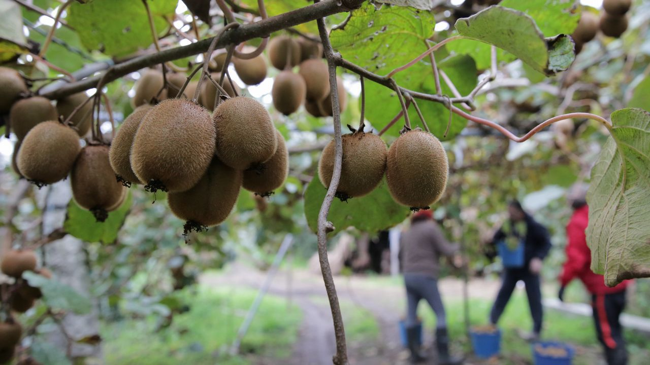 Recogida de kiwi en pontevedra