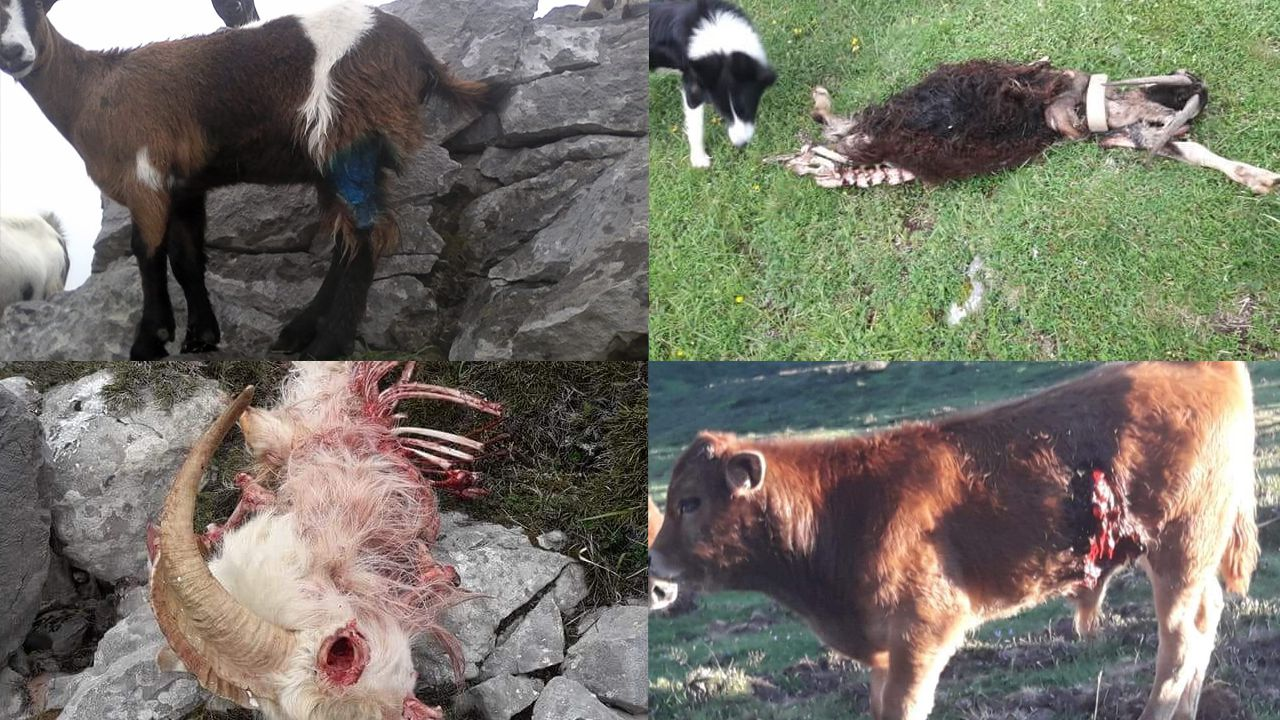 ataque lobo ganadería lobos animales heridas.Los estragos del lobo en las especies ganaderas de Asturias