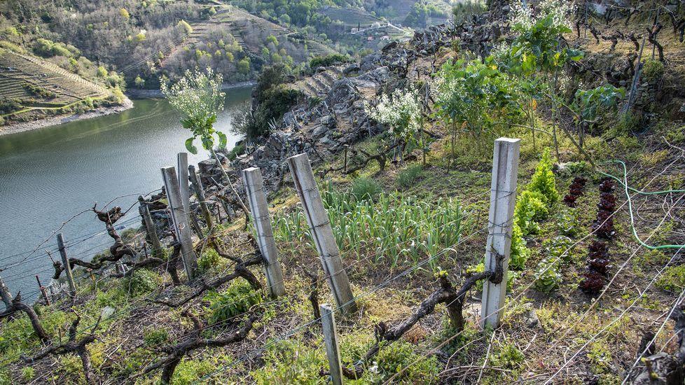 Cimavilla.Huerto entre viñedos en O Lameiro, en pleno cañón del Sil