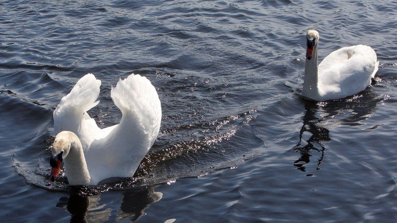 La pesca de lamprea en las pesqueiras del Ulla en Herbón tendrá que esperar
