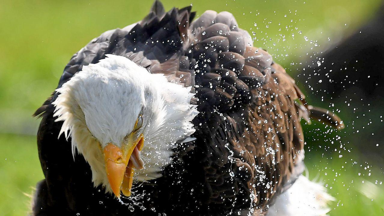 El águila americana «Indiana» se baña en su recinto en Springe, al norte de Alemania