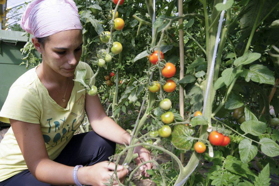 Bárbara en su huerto ecológico de tomates.