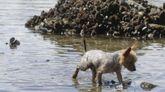 Perro en la ría de O Burgo