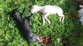 Ataque de los lobos en una ganadería de Caso