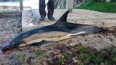 Imagen de un delfín que murió varado entre las piedras en la costa asturiana