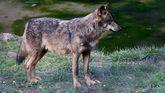 Un lobo en el cercado de Belmonte