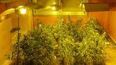 Incautan 187 plantas de marihuana en Oleiros