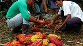 Agricultores da Amazonia ecuatoriana colleitan os froitos do cacao para o seu procesado