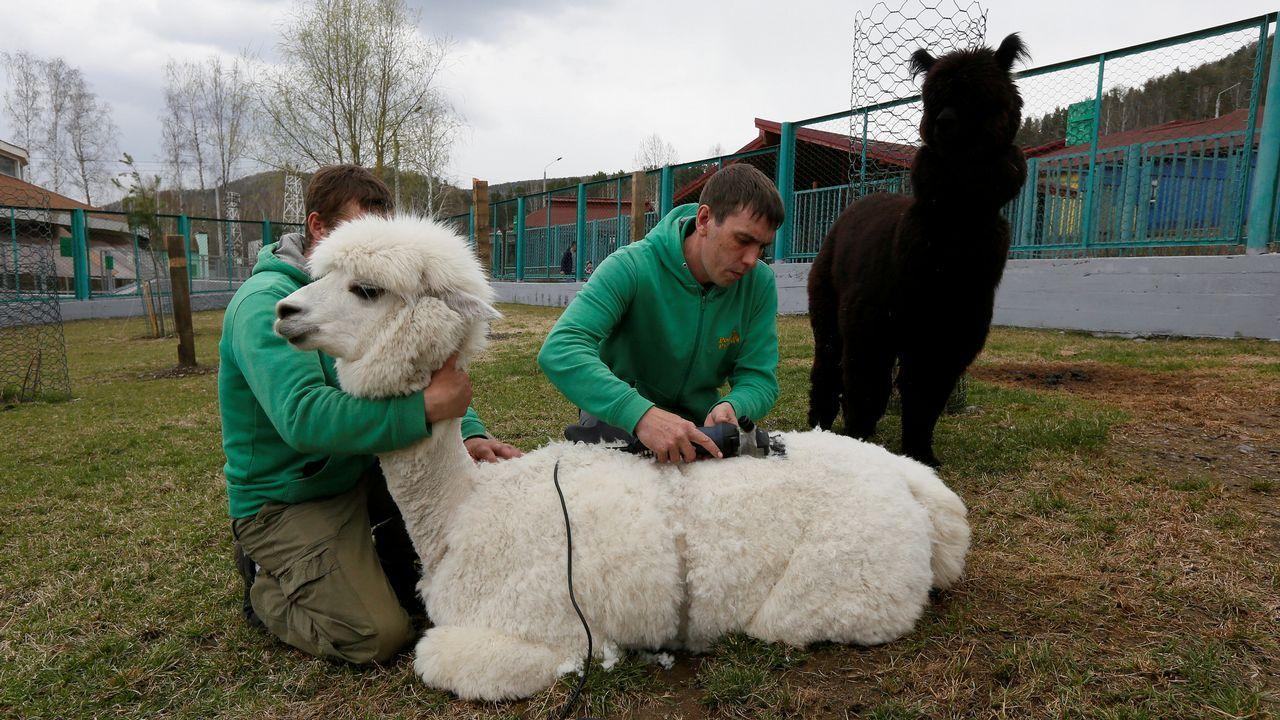 .Dos empleados esquilan un ejemplar de alpaca en un zoológico de Krasnoyarsk, en Rusia
