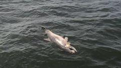 «Infanticido» entre delfines en la ría de Arousa