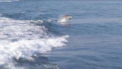 Así se divierten los delfines en Arousa