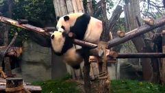 Lucha de osos panda en la reserva china de Chengdu