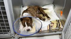 Alerta sobre peleas de perros tras la aparición de uno herido