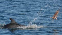 Los delfines también «mazan» el pulpo antes de comerlo
