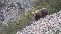 Los incendios dejan sin hogar ni alimento al oso pardo en la Cordillera Cantábrica