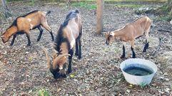 Recogen a tres cabras que deambulan por el centro de Oviedo