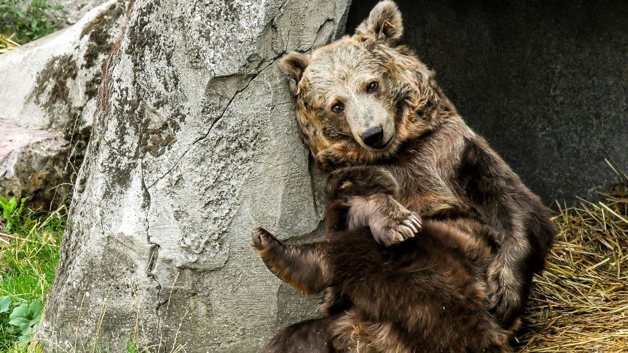 El oso Kiwi, que protagonizó la película «The Bear»