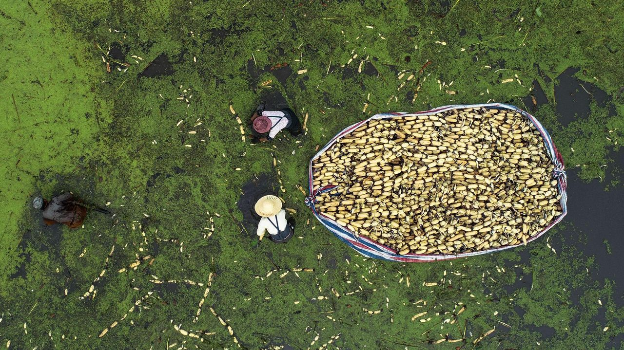 Una imagen aérea que muestra a varios agricultores cosechando raíces de loto en Haian en la provincia oriental china de Jiangsu.