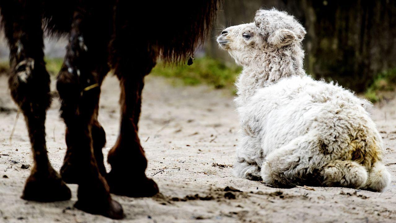 Un camello recién nacido junto a su madre, en el zoo de Amersfoort, en Holanda