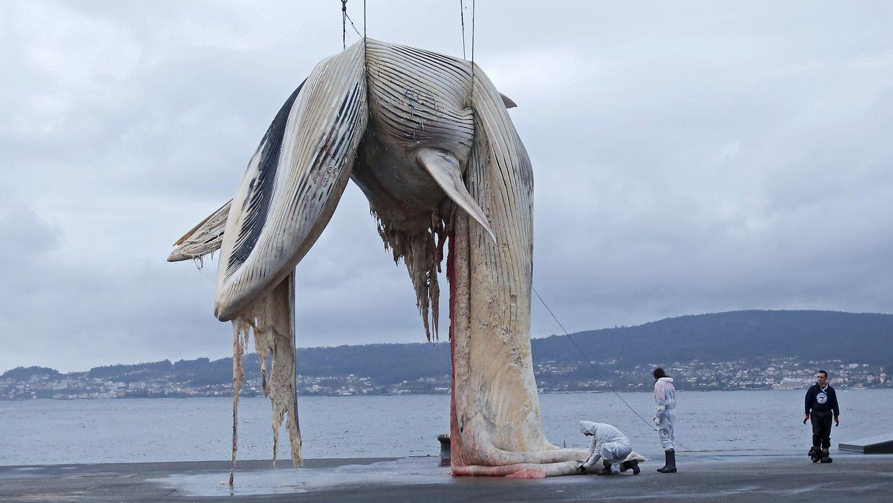 Espectacular retirada de una ballena de 20 metros en el puerto de Marín