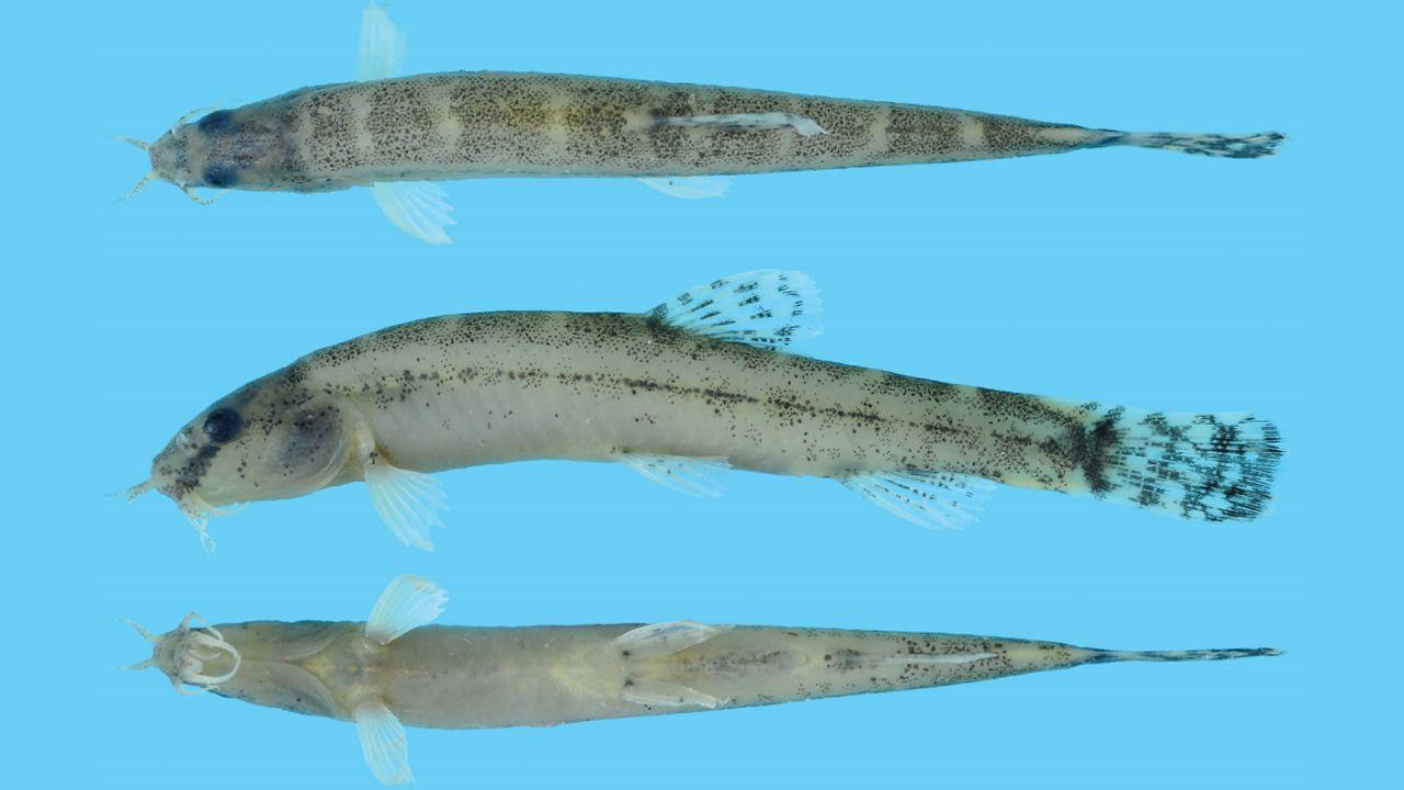El «lepidocephalichthys eleios», encontrado en Myanmar.