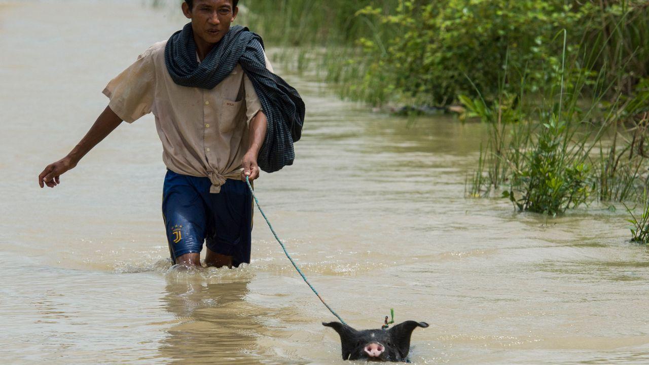 .Un hombre intenta poner a salvo a su cerdo tras las inundaciones de Bago.