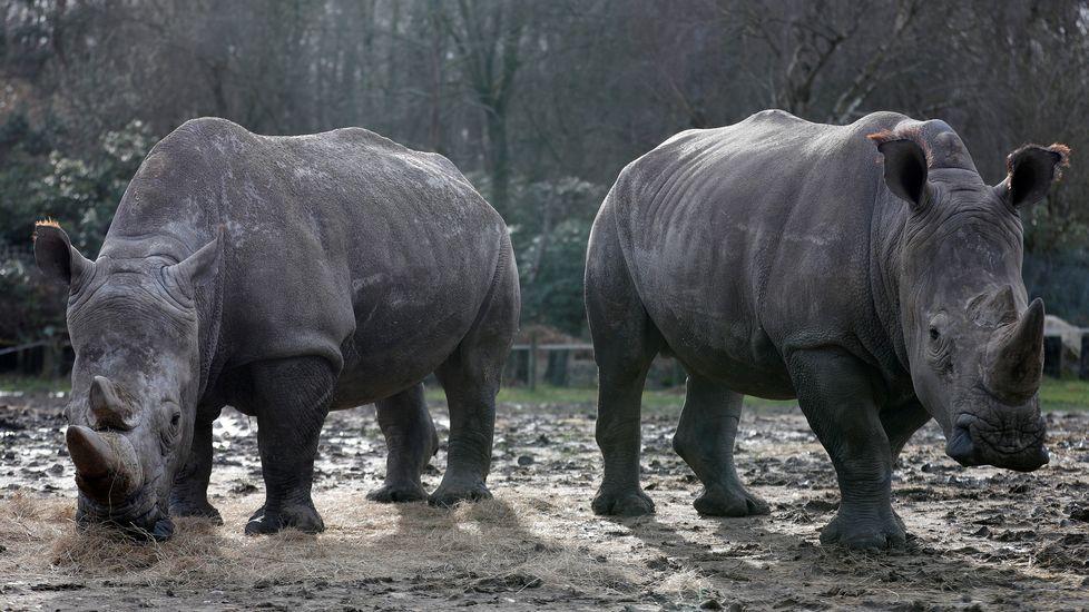 .El rinocerente abatido vivía con otros dos ejemplares en el zoológico de Thoiry