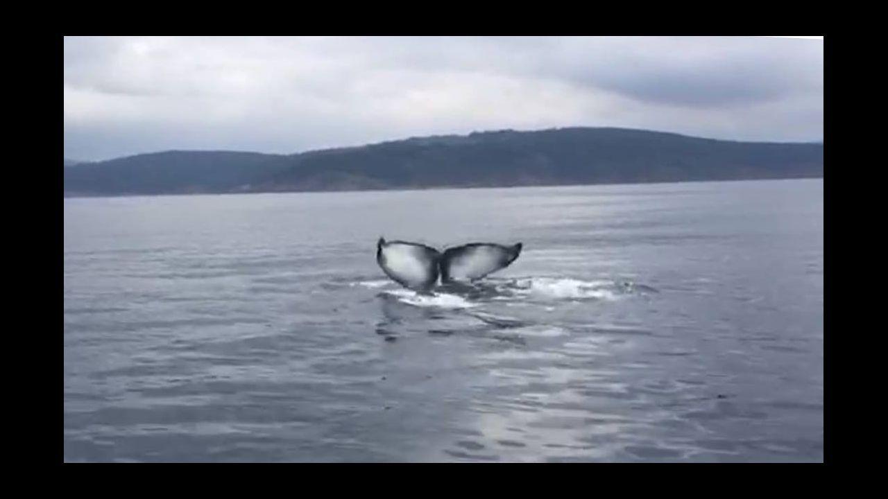 Tiburones en Galicia: «Son crías de quenlla, os adultos non se acercan á costa»
