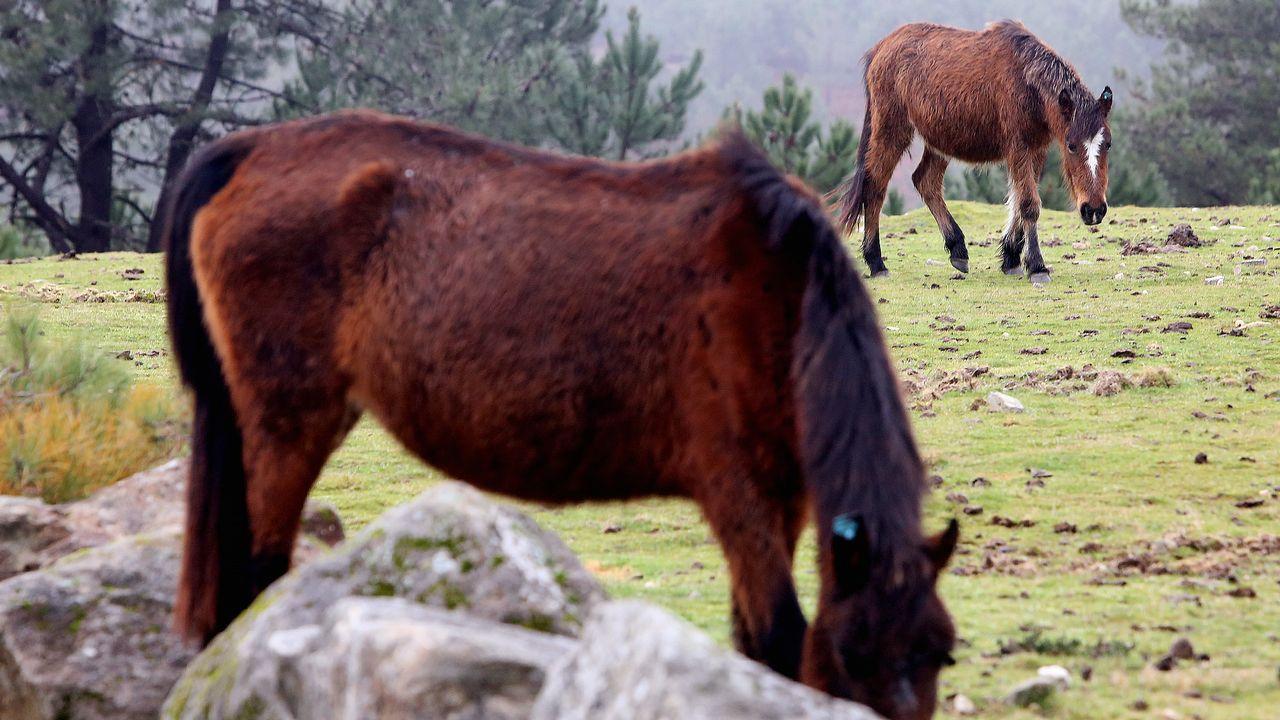 Unos caballos mostrencos pastan en la Serra da Groba, en Oia
