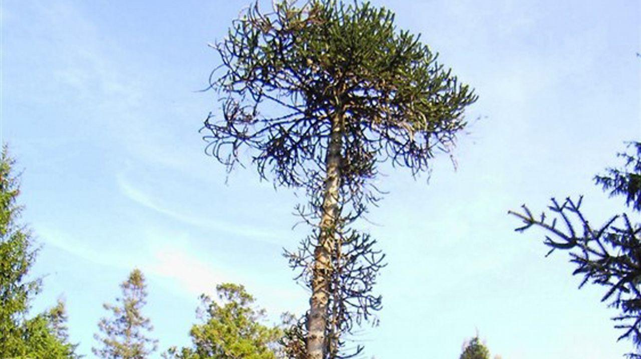 ¿Cuál es el mejor árbol de Europa?.Los jugadores del Oviedo en El Requexón
