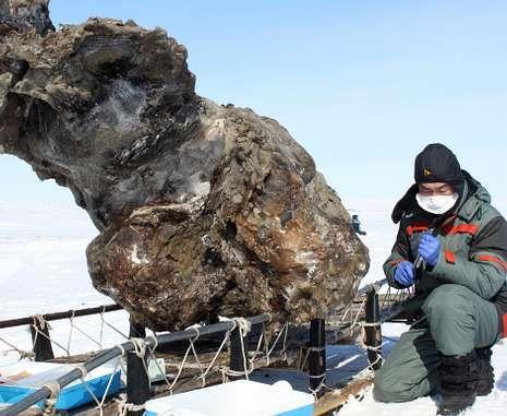 Un equipo ruso-coreano anunció esta semana que había hallado sangre de un mamut.