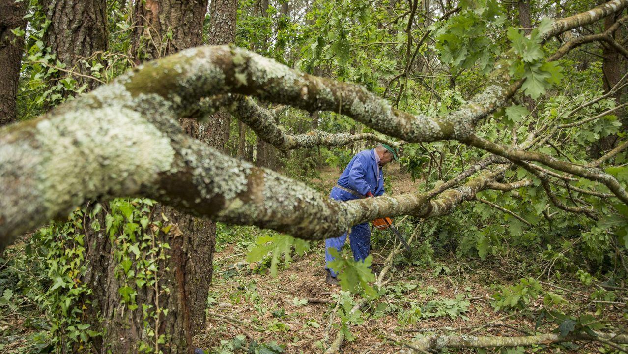 teatro.Un vecino de Vimianzo talando un árbol