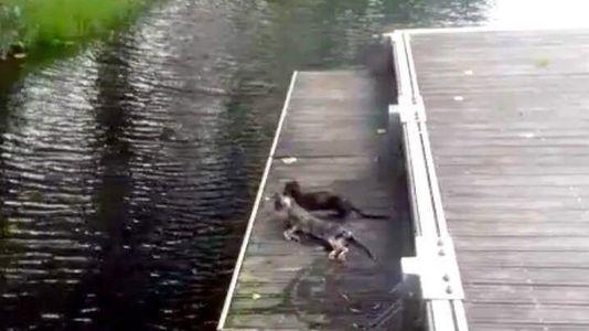 Un visón americano devora un gato en un parque de Monforte