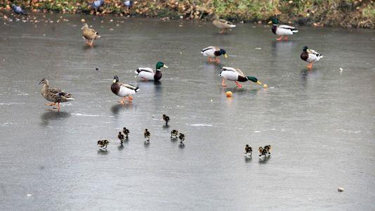 Crías de ánade real nacidas en pleno invierno