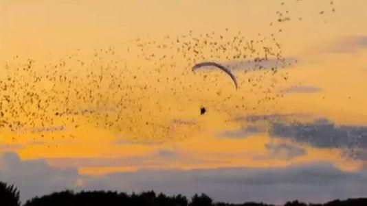 Sueño cumplido: volando entre estorninos