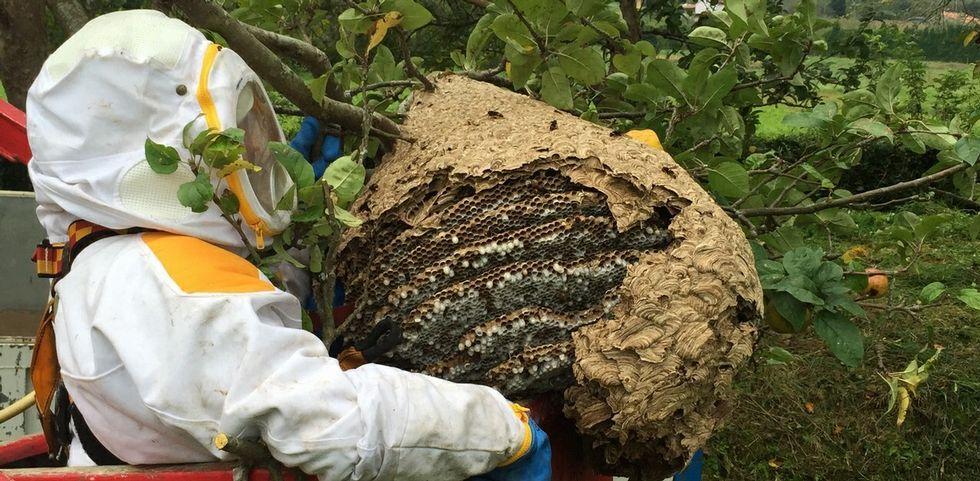 NAVIAH.Un operario retira un nido de avispa asiática