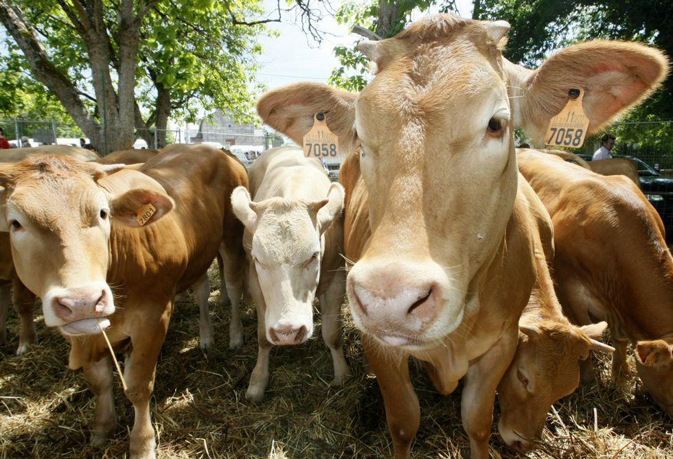 La subasta de ganado de Adai es uno de los mejores escaparates de rubia galega.