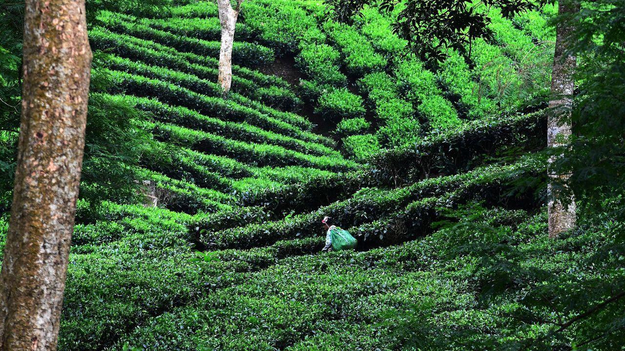 Una mujer arranca hojas de una plantación de té cercana al parque nacional de Kaziranga en la India