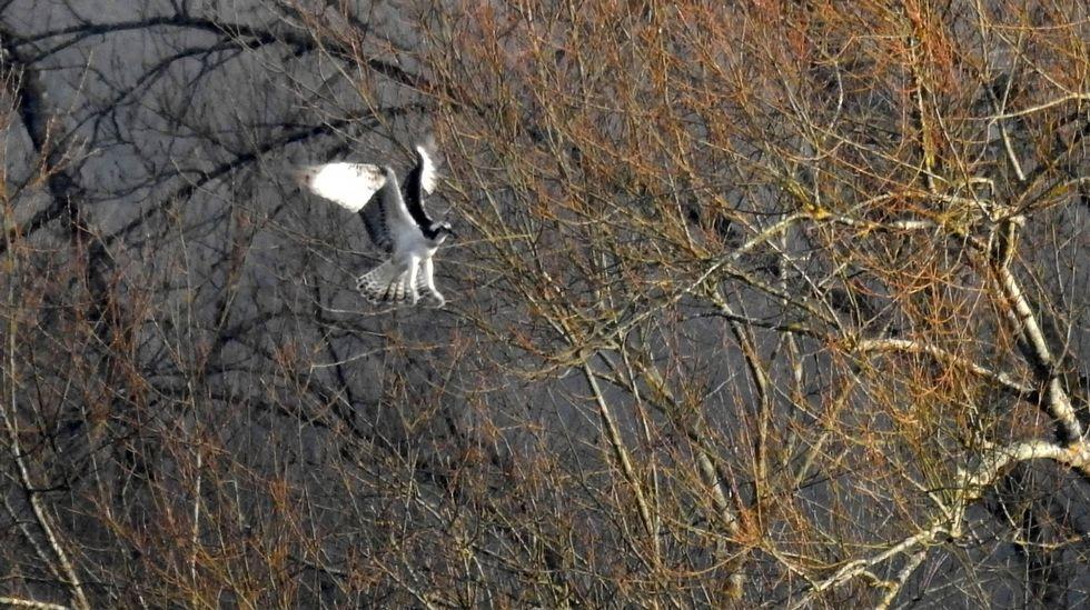 Este ejemplar de águila pescadora fue fotografiado en el entorno de Portomarín el pasado 12 de enero, durante la realización del censo anual de esta especie en Galicia