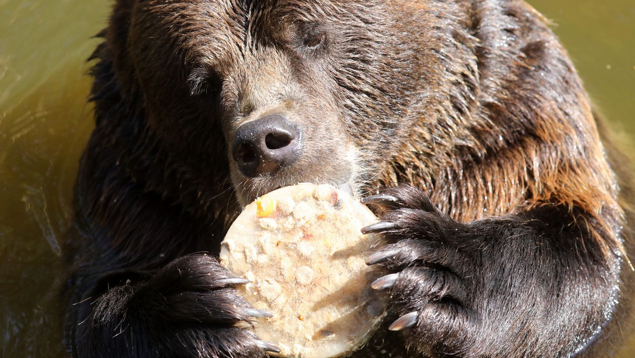 Un oso saborea un helado de hielo en el parque de vida salvaje situado en Guestrow, Alemania