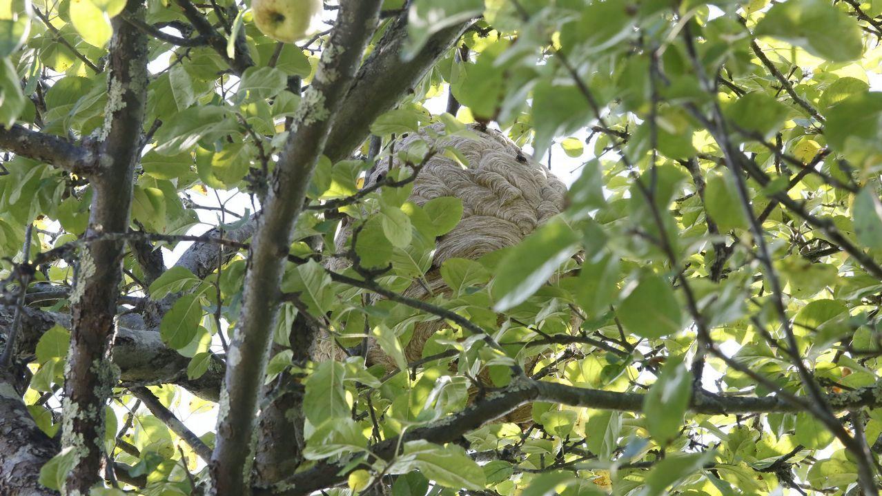 En los últimos días en Viveiro se han retirado varios nidos gigantes de velutina en manzanos