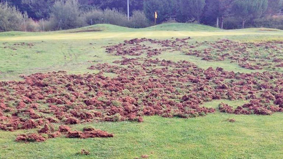 El jabalí se ceba con el campo de golf de Miño