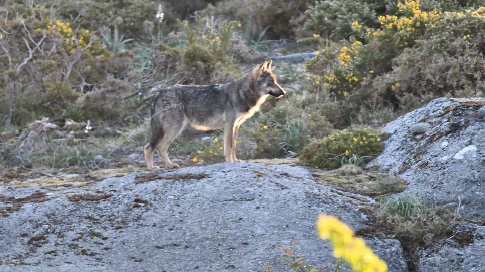 La ministra Ribera dice quehan presupuestado 20 millones para estrategias de convivencia con el lobo y el oso