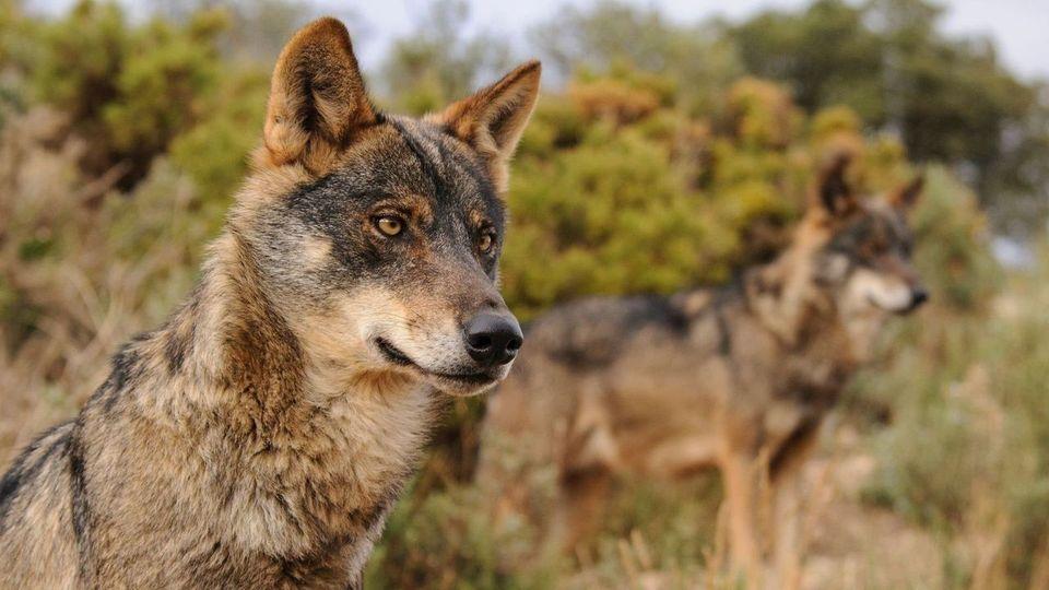 La protección del lobo acorrala a la ministra Teresa Ribera