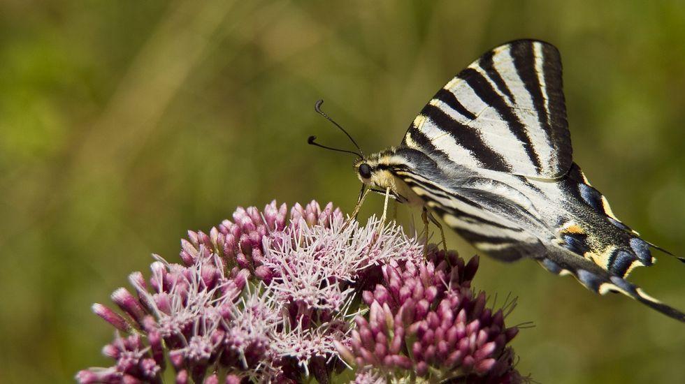 Miles de alumnos elixiron en 1993 a palabra «bolboreta» como a más bonita da nosa lingua, o que sen dúbida é válido para  un gran número de galegos