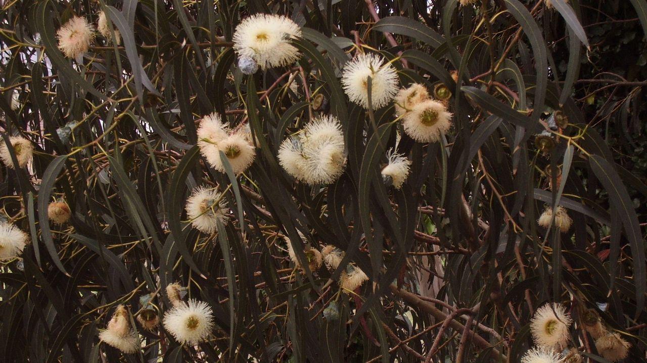 O eucalipto débelle o nome ao botánico francés Charles-Louis L'Heritier: o prefixo 'eu' significa «ben» mentres que 'kaliptós' significa «cuberto», en referencia á cápsula das súas flores