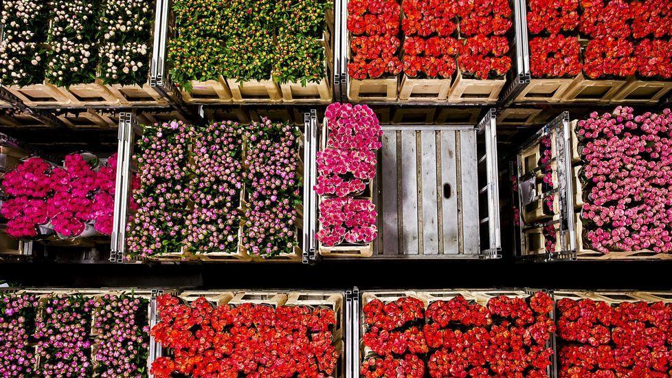 Fran Sol Real Oviedo Horizontal.Vista general de los cajones de flores subastados en la subasta «FloraHolland» celebrada en Aalsmeer (Holanda)